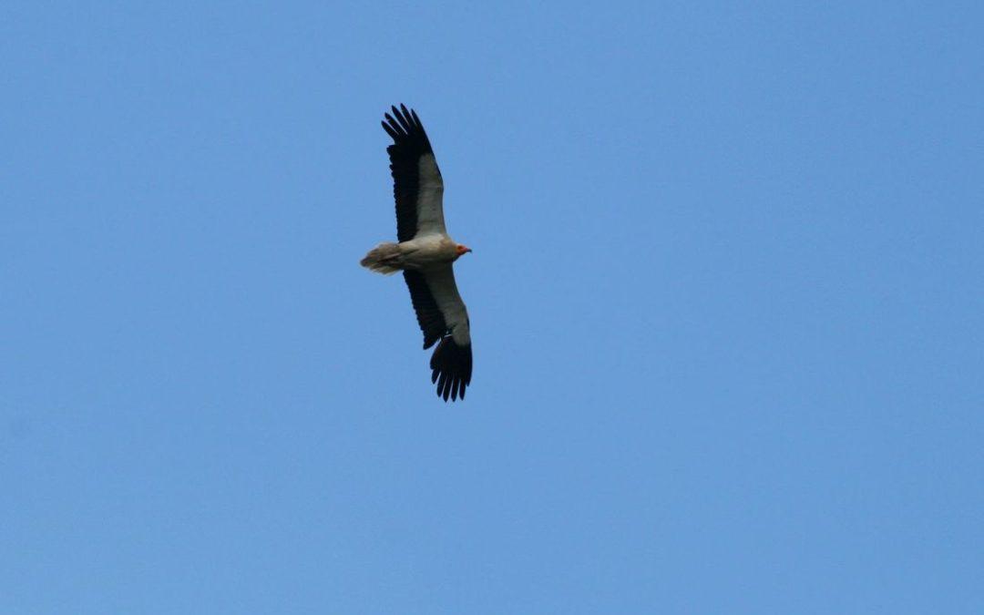 Egyptian Vulture New LIFE/ Projekti i Ri Life Kali i Qyqes