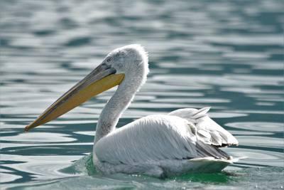 Breeding Birds of Prespa Lake