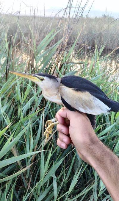 BIRD BANDING IN REEDBEDS