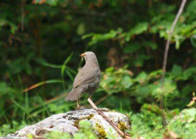Blackbird, Mellenja (Turdus merula)