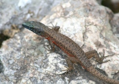 Blue-throated Keeled Lizard, Hardhuca e shkëmbinjve (Algyroides nigropunctatus)