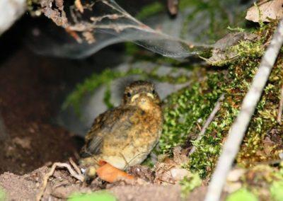 Chick of Robin, I vogli i Gushekuqit (Erithacus rubecula)