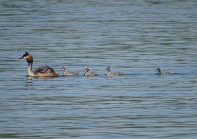 Crested Grebe with chicks, Kredharaku i madh me te vegjlit