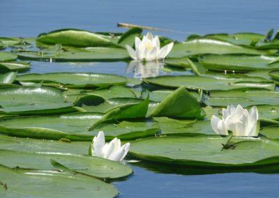 European white water-lily, Zambaku i bardhe i ujit (Nymphaea alba)