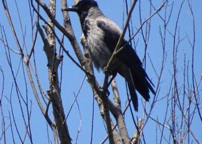 Hooded Crow, Sorra (Corvus cornix)