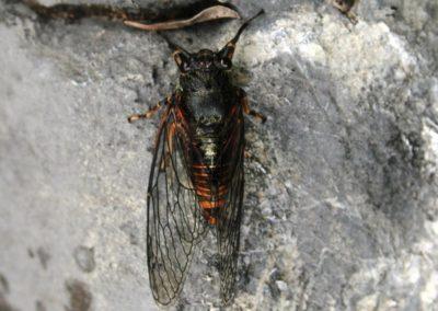 New Forest cicada, Gjinkallëza e malit (Cicadetta montana)