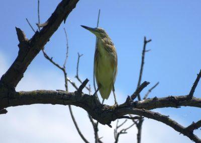 Squacco Heron, Cafka e verdhe (Ardeola ralloides)