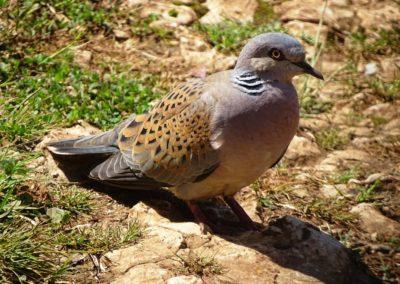 Turtle Dove, Turtulli (Streptopelia turtur)