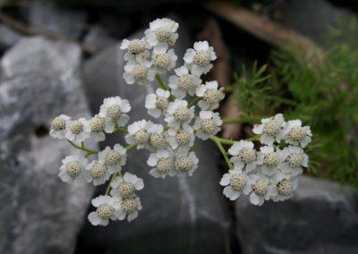 Yarrow, Bari mijëfletësh (Achillea millefolium)