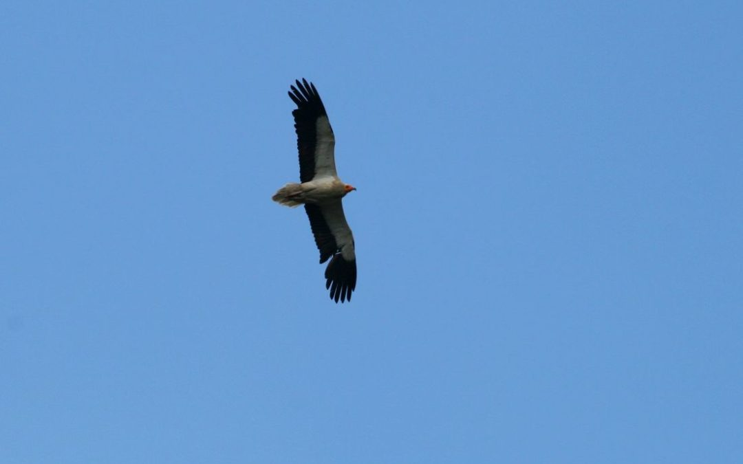 First expedition in the Egyptian Vulture's territories