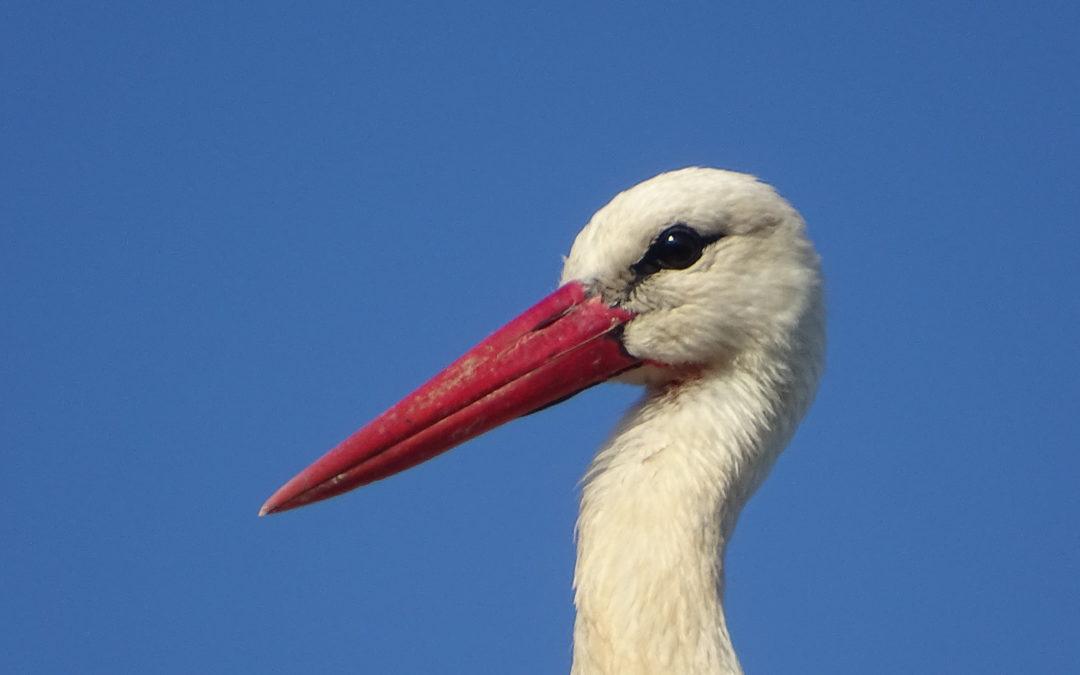 White Stork (Ciconia ciconia) population in Albania / Breeding platform – solution to electrocution.