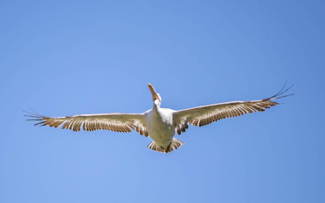 11th of May – Dalmatian's Pelican Day