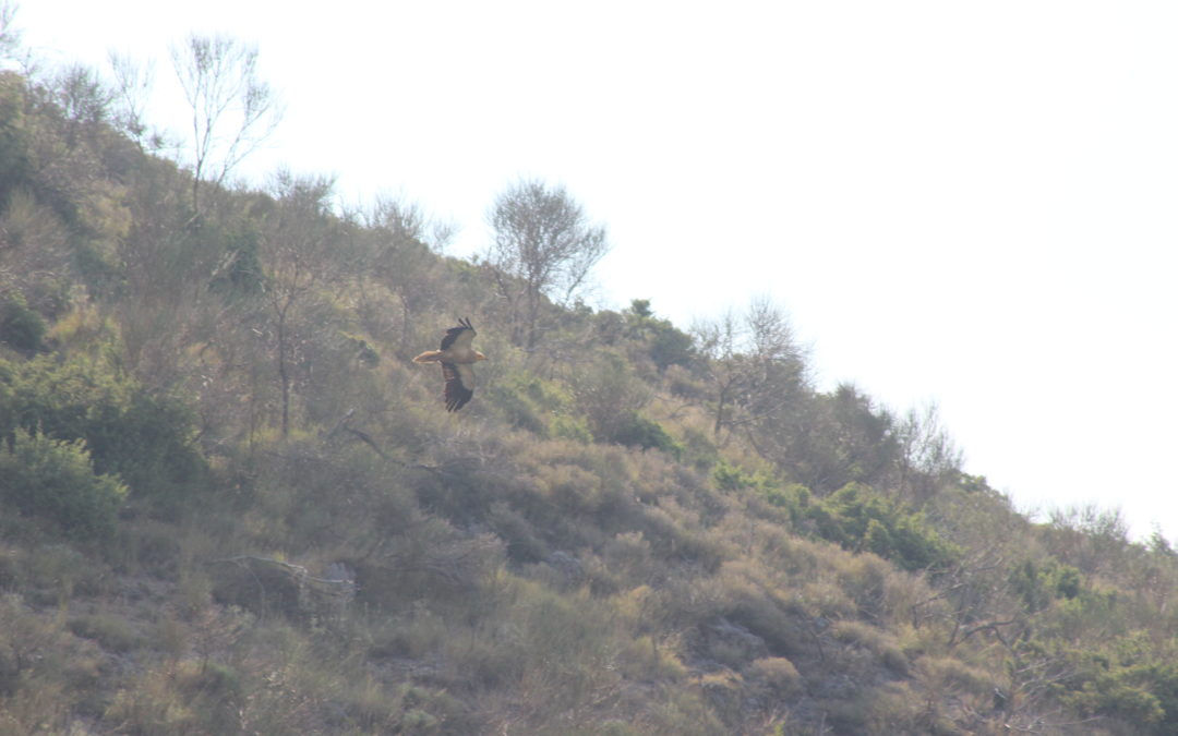 Exciting sightings from Egyptian Vulture territories in Albania!