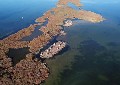 Dalmatian Pelican - Pelican Island- AOS