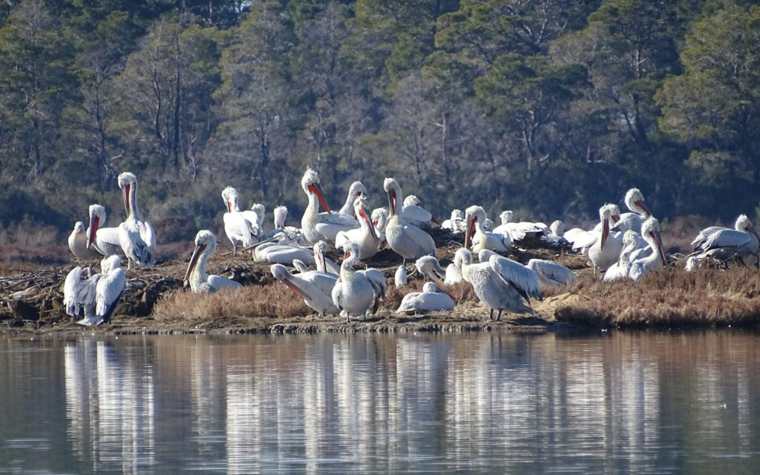 Highest of records for the colony of the Dalmatian Pelicans breeding in Divjaka