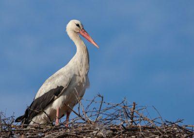 The first White Stork of Prizren (Kosovo), 14th of March 2020, ©Liridon Shala