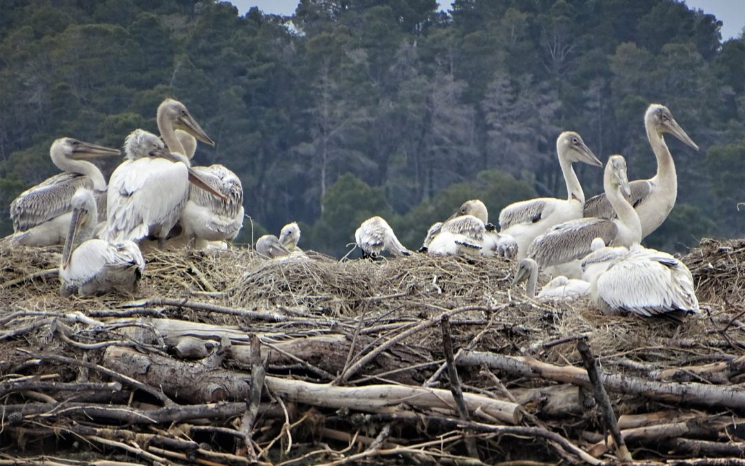 Latest update from the Pelican's island in Divjaka-Karavasta National Park. 🐤🐣