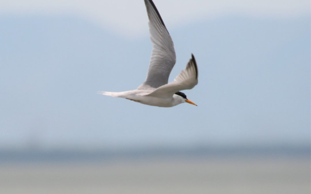 Rehabilitation of breeding grounds for Little Terns in Divjaka-Karavasta National Park