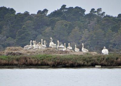 Dalmatian Pelicans chicks© Taulant Bino (2)