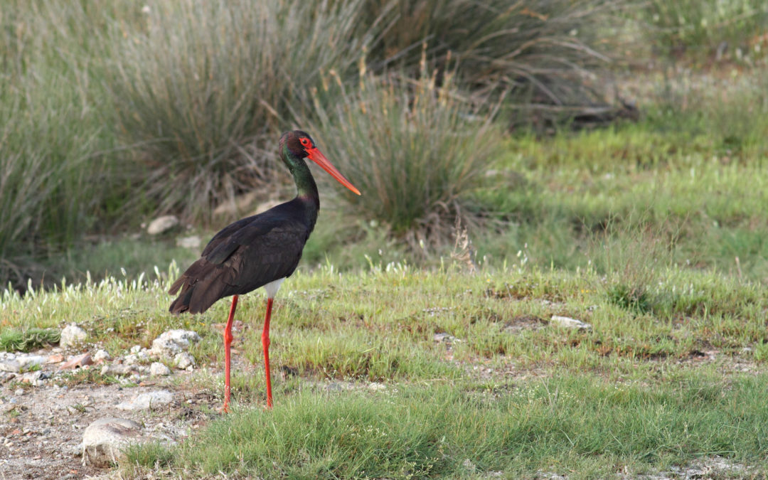 The discreet bird is already observed: Black Storks in Albania
