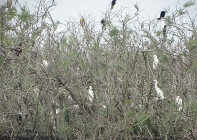 The colony of Herons and Cormorants in Divjaka_2