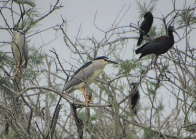 The colony of Herons and Cormorants in Divjaka_6