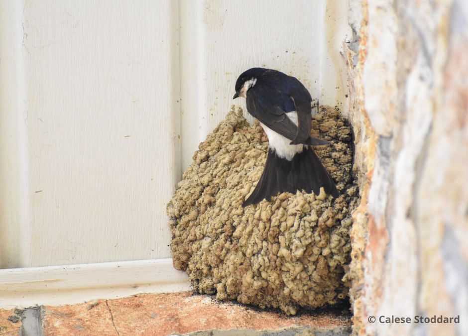 Backyard Birding During a Pandemic: A Deeper Appreciation for the House Martin – AOS Volunteer, Calese