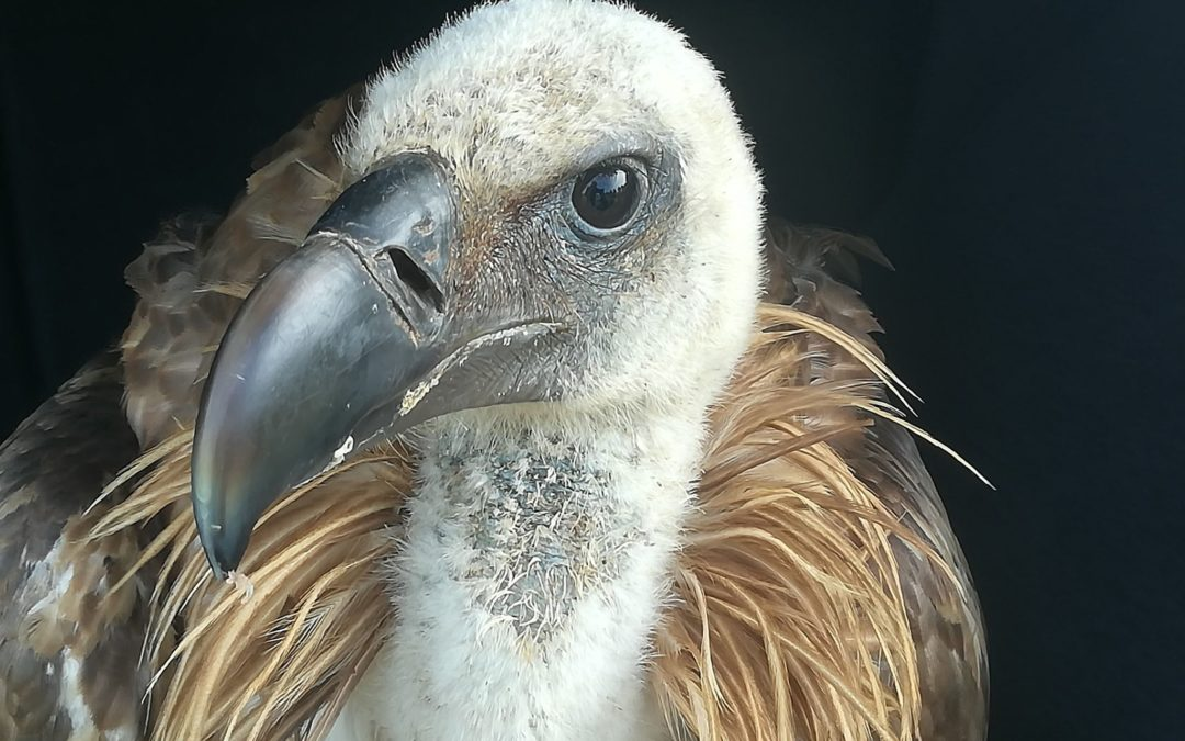 A specimen of Griffon Vulture in Divjaka Rehabilitation Center