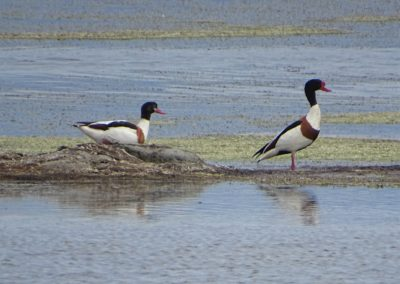 Breeding pair of Shellduck_© Taulant Bino