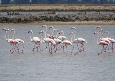 Flamingo © Taulant Bino