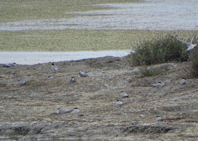 Little Tern colony_© Taulant Bino