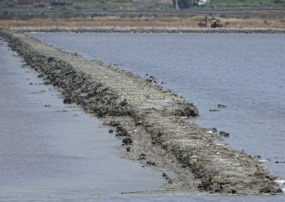 Mixed colony of Pied Avocet and Little Tern in a dike of the Salina_© Taulant Bino