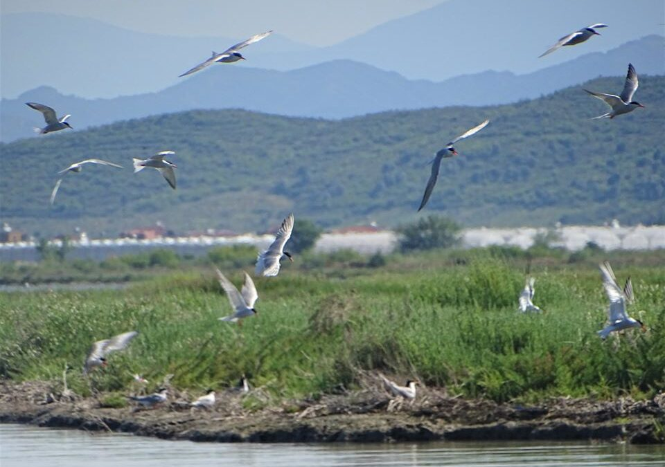 Results from the monitoring of breeding waterbirds in Divjaka-Karavasta National Park