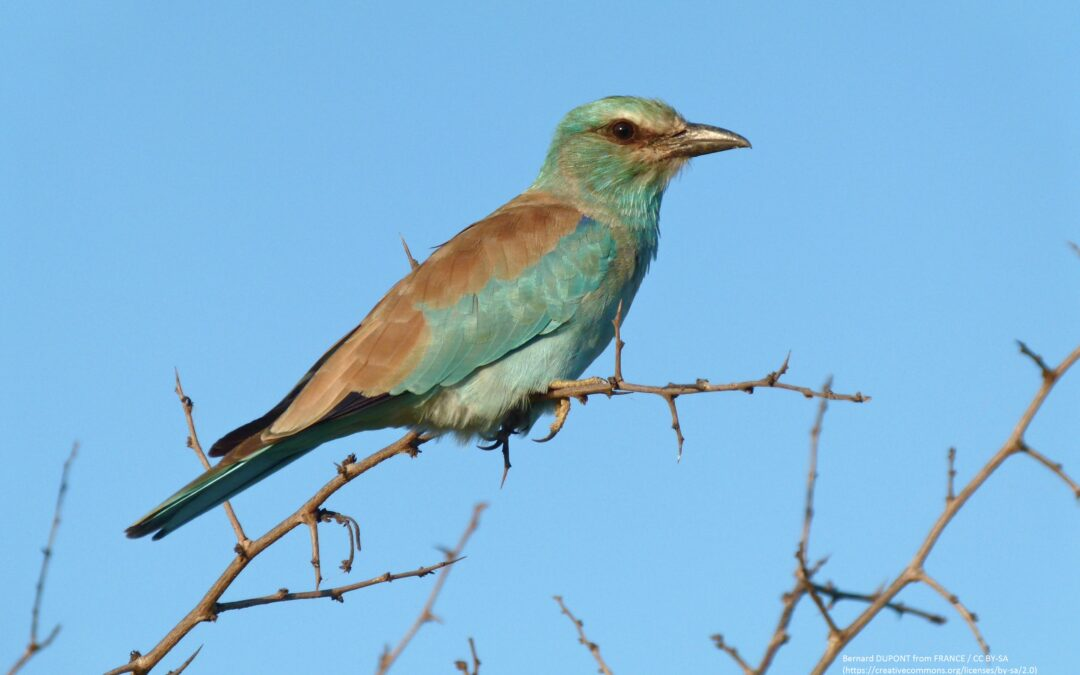 Three other nests of the European Roller confirmed in Albania