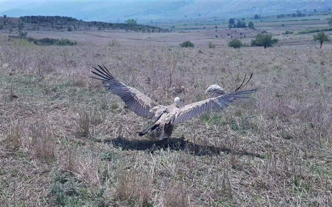 Mokoš, the Griffon vulture, returns to the wilderness