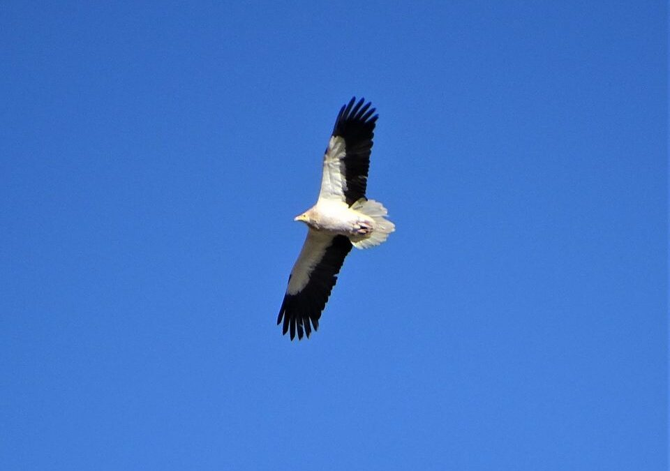 Results of the spring monitoring of the Egyptian vulture in the Balkans and Albania