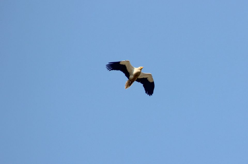 Super positive news from the Egyptian vulture in Albania
