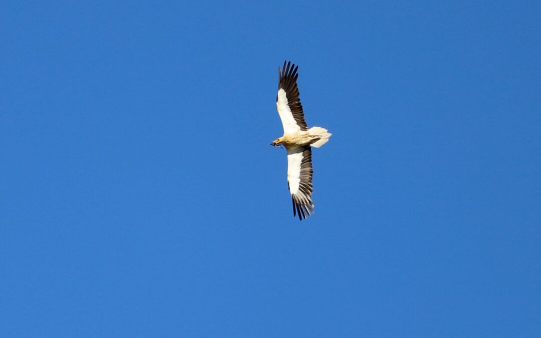 Optimism for the Egyptian Vulture population in the Balkans