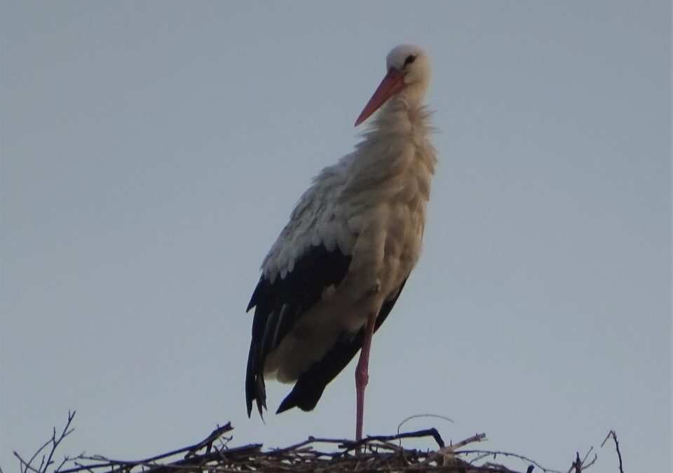The breeding platform in Fier shelters the White Storks even in Winter