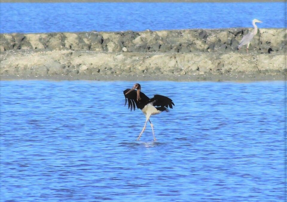 The Black Stork, wintering in Albania!
