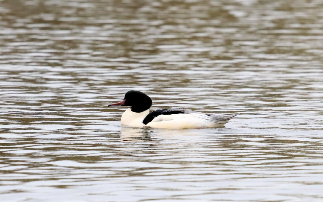 The Goosander, the most special guest of Tirana Lake