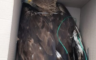 THE GOLDEN EAGLE, OUR NATIONAL SYMBOL, IS SHOT WITH A FIREARM