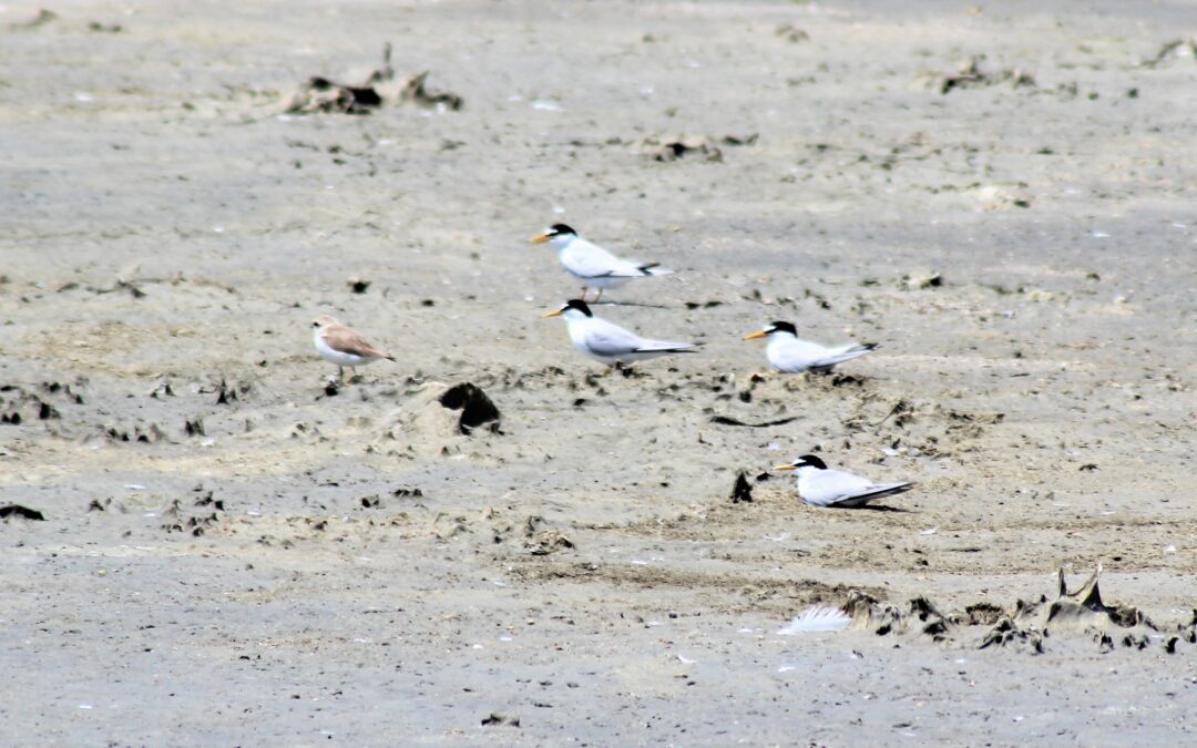 Call for proposals for the design services and concept-ideas, in relation to the design of the creation of long-term, sustainable, and ecological nesting habitats for the Little tern (Sternula albifrons)
