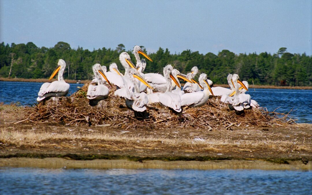 HAPPY NATIONAL PELICAN'S DAY!